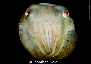 cuttle fish by Jonathan Sala 